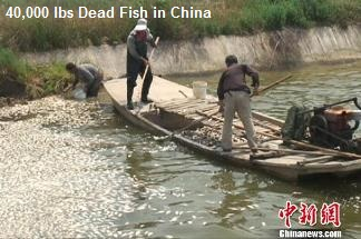 40,000 Dead Fish in China