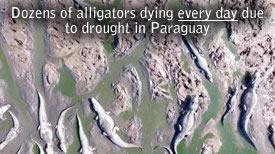 Dead Alligators Paraguay