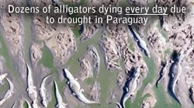 Martwe Aligatory Paragwaj