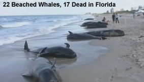 22 Beached Whales Florida