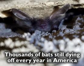 Dead bats in America