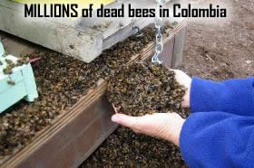 dead bees in colombia