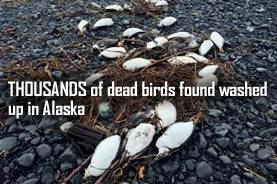 Martwe ptaki na Alasce
