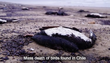 Dead Birds in Chile