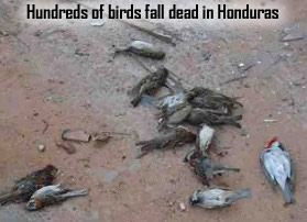 Dead birds in Honduras