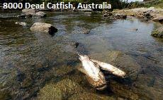 Dead Catfish Australia