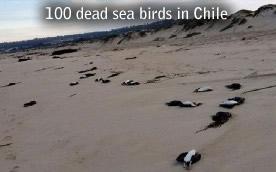 Dead cormorant Chile