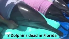 dead dolphins florida