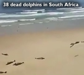 Dead dolphins in South Africa
