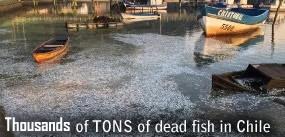 Dead fish in Chile