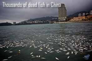 Dead fish in Lantau