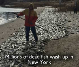 Dead fish in New York
