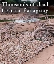 Dead Fish in Paraguay