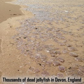 Dead Jellyfish in Devon