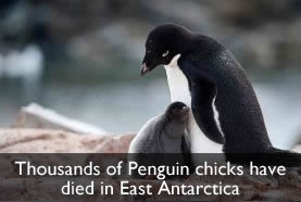 Dead Penguin Chicks
