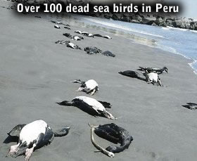 Dead seabirds in Peru