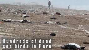Mrtvé Seagulls v Peru