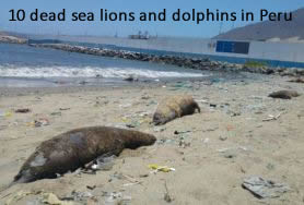 Dead sea lions and dolphins Peru