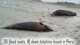Dead Seals and Dolphins in Peru