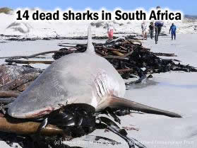 Dead Sharks in South Africa