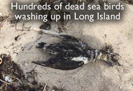 Dead Shearwaters