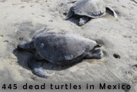 Dead turtles in Guerrero