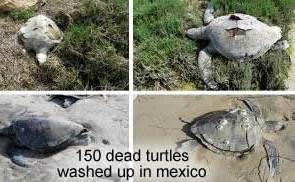 Dead Turtles in Mexico