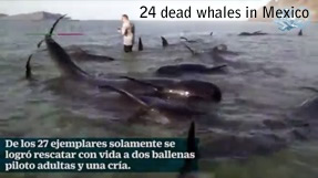Martwe wieloryby w Baja