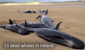 Dead Whales in Ireland