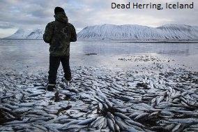 Dead Herring Iceland
