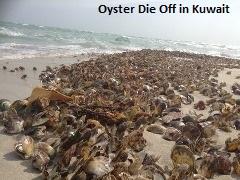Oyster Die Off Kuwait