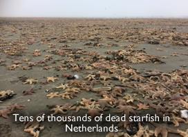 Starfish dead in Netherlands