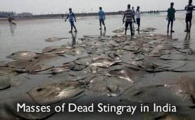 Dead Stingray India