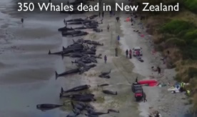 Dead whales Farewell Spit